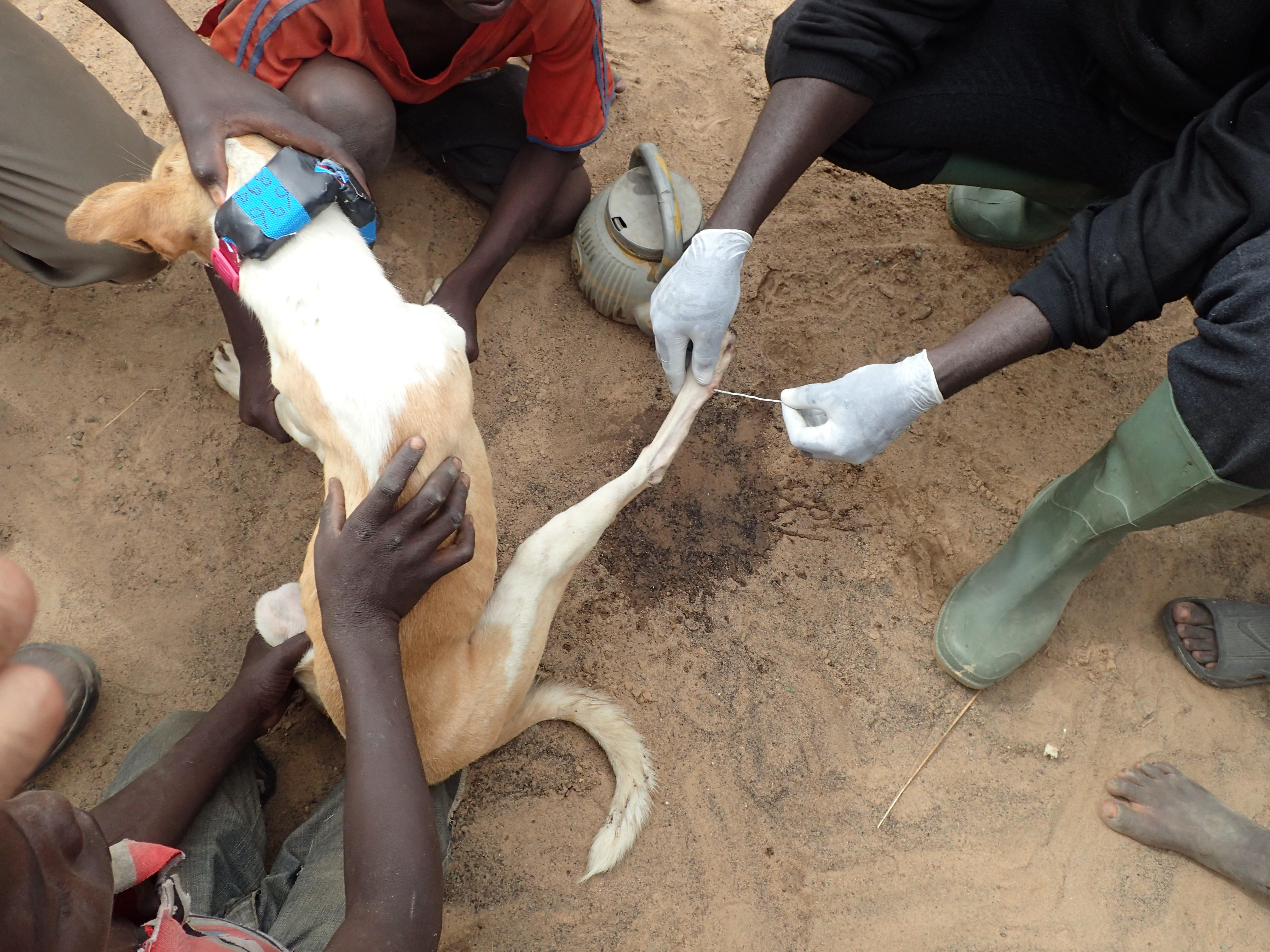 Guinea worm removal from a dog's leg - Photo: Jared Wilson-Aggarwal