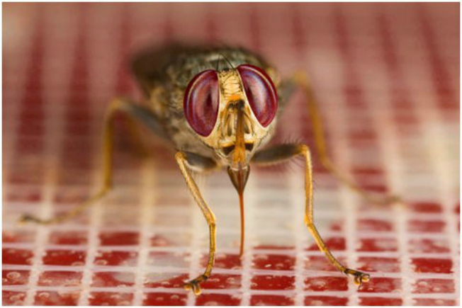 A tsetse fly (Glossina morsitans morsitans) taking a bloodmeal using the artificial feeding membrane system (Image courtesy of Dr. Ray Wilson)