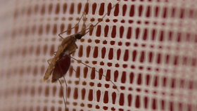 Malaria-carrying mosquito resting on a bed net due to resistance to insecticide